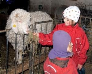 Et får i Birkegårdens Haver
